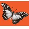 Butterfly angolawhitelady