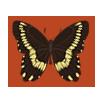 Deertushnarrowbandedswallowtail