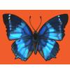 Butterfly westernbluecharaxes