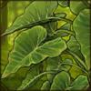 Elephantearplant