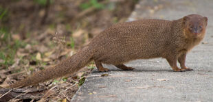 Real Life (Javan Mongoose)