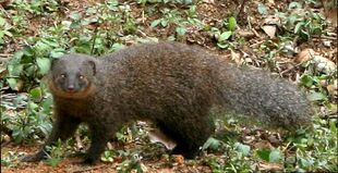 Real Life (Indian Brown Mongoose)