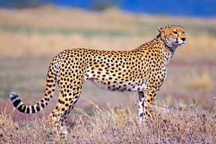 Real Life (African Cheetah)