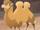 Male Camel