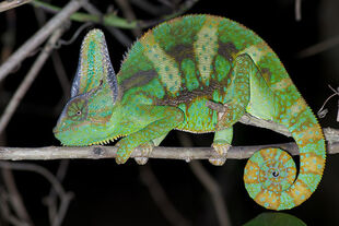 Real Life (Veiled Chameleon)