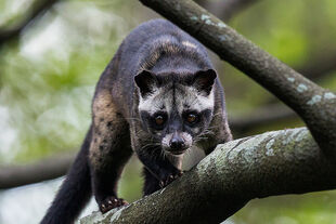 Real Life (Asian palm civet)