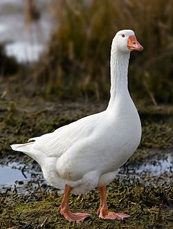 Real Life (Domestic goose)