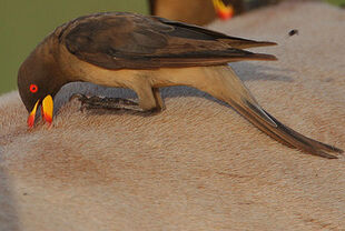 Real Life (Yellow-billed oxpecker)
