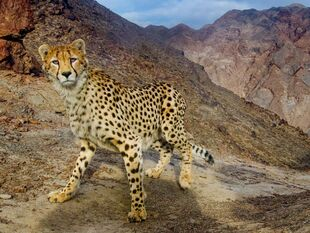 Real Life (Asiatic Cheetah)