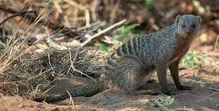 Real Life (Banded Mongoose)