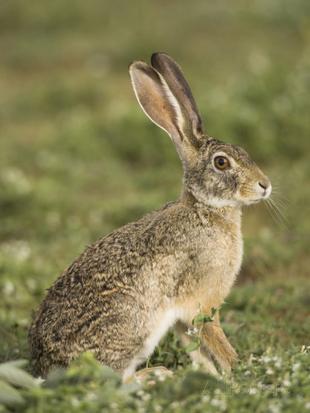 Real Life (Scrub Hare)