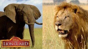 Who's Louder? It's UnBungalievable! The Lion Guard Disney Junior