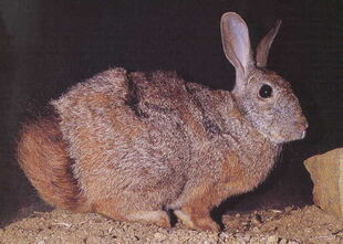 Real Life (Red Rock Hare)