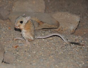 Real Life (Lesser Egyptian jerboa)