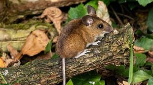 Real Life (Wood mouse)