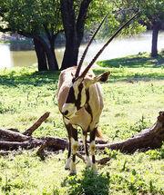 Our-Animals-pic-gemsbok-1