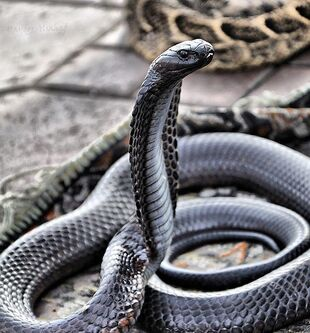 Real Life (Black-Necked Spitting Cobra)