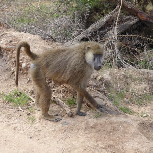 Real Life (Yellow Baboon)