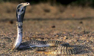 Real Life (Egyptian Cobra)