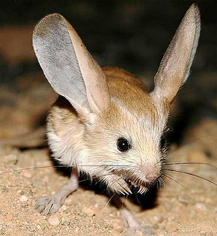 Real Life (Long-eared jerboa)