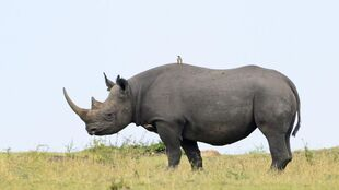 Real Life (Black Rhinoceros)