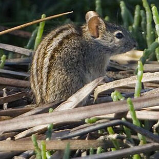 Real Life (Four-striped grass mouse)