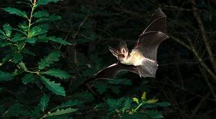 Real Life (Botswana Long-Eared Bat)