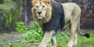Real Life (Asiatic Lion)