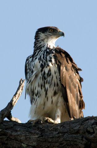 File:1200px-African Hawk-eagle Aquila spilogaster.jpg