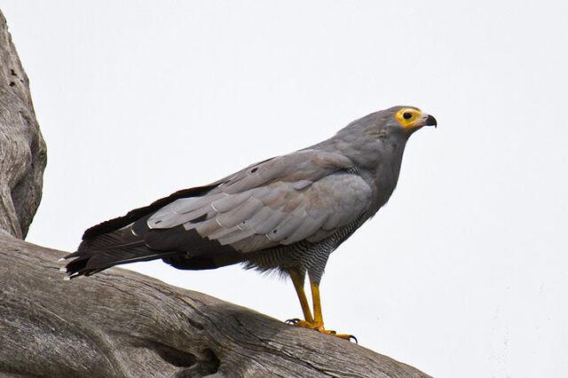 File:RealHarrier Hawk.jpg