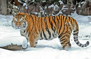 Real Life (Siberian tiger)