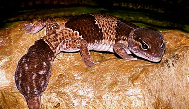 File:African-fat-tailed-gecko1.jpg
