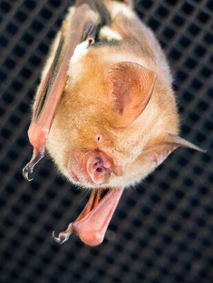Real Life (Diadem leaf-nosed bat)