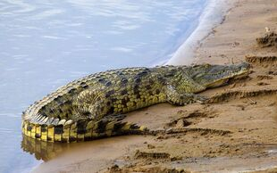 Real Life (Nile Crocodile)