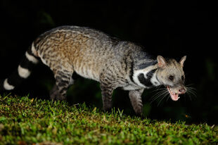 Real Life (Large Indian civet)