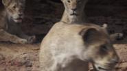 Lionking2019-animationscreencaps.com-7289