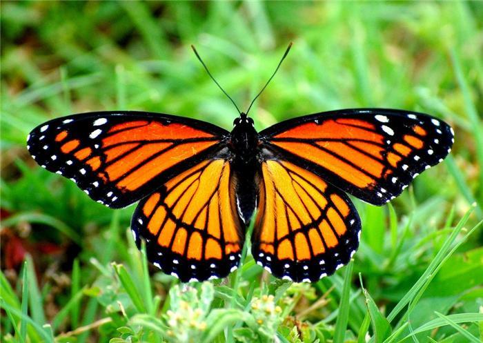 Бабочка монарх | Животные вики | Fandom