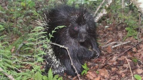 Porcupine Battle Chatter