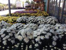 Crisantems2