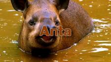 Anta Tribe