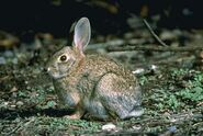 Brush-rabbit