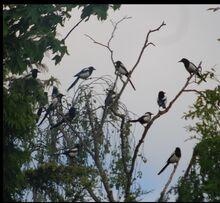 Magpies 2