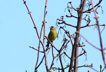 Frinton 30.3.19 191 Greenfinch
