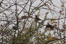 Leaches Fields 23.11.19 093 cc redwing x4 Redwings