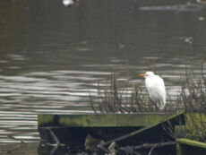 Cattle Egret 1