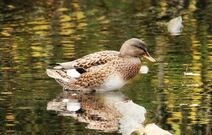 Rye Meads 8.11.19 134 cc Gadwall female white speculum and two tone beak