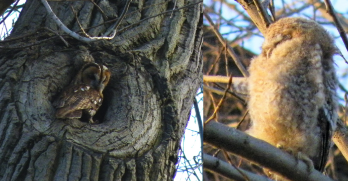 Tawny Owls 16 April 2010