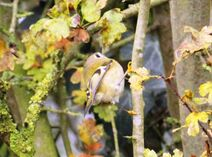 Rye Meads 22.11.19 158 cc Goldcrest