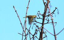 Frinton 30.3.19 194 Greenfinch flight
