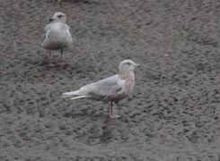 IMG 9218 3rd winter Iceland Gull 3